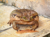 Super big toad on white light colored surface - big frog Stock Images