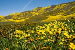 Super bloei bij Carrizo Duidelijk Nationaal Monument in Californië Hellingsmadeliefjes, goudvelden en fiddlenecks wildflowers bin stock afbeelding