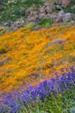 Super bloom of beautiful poppies and purple wildflowers on the hills of Walker Canyon in Lake Elsinore California. Focus on the. Purple flowers stock image