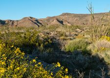 Super bloom in the Black Mountains. Of Arizona along Route 66 royalty free stock images