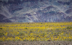Super bloom in Death Valley, CA Royalty Free Stock Image