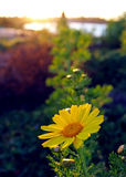 Super blooming wild flowerfield. Daisies and sunflowers are blooming in the meadow in 2017 California super bloom. At mission Bay, San Diego Royalty Free Stock Image