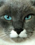 Super Cat. Beautiful, blue-eyed, black nose, cat, serious super stock images