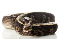 Super chocolate ball python Stock Image