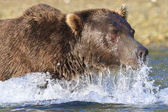 Super close-up of brown bear's face Royalty Free Stock Image