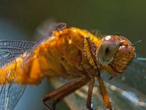 Super close up of dragonfly with super details. royalty free stock images