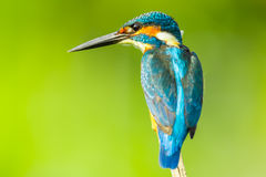 Super close up of  Male Common kingfisher Royalty Free Stock Images
