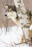 Super close wolf portrait. In snowy mountains Royalty Free Stock Photo