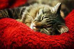 Super comfortable cat on red blanket Royalty Free Stock Photos