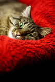 Super comfortable cat Royalty Free Stock Images