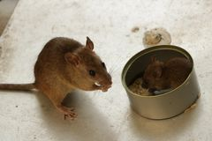 Super Cute Baby and Mom Mice Eating Rice by the Tin Can stock photos
