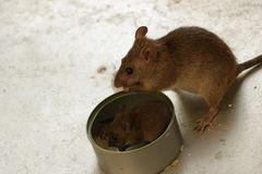 Super Cute Baby and Mom Mice Eating Rice by the Tin Can royalty free stock photography