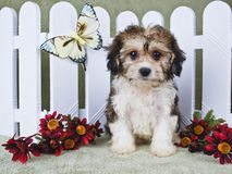 Super Cute Cavachon Puppy Royalty Free Stock Photos