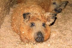 Blond Mangalica. Super cute and curly blond orange Mangalica pig Sus Scrofa aka Manglitza or Mangalitsa, a Hungarian breed of domestic pig Royalty Free Stock Photography