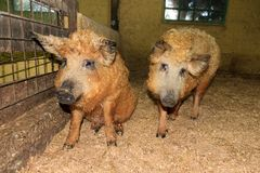 Cute Mangalica pigs. Super cute and curly blond orange Mangalica pigs Sus Scrofa aka Manglitza or Mangalitsa, a Hungarian breed of domestic pig Royalty Free Stock Images