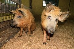 Mangalica twin pigs. Super cute and curly blond orange Mangalica pigs Sus Scrofa aka Manglitza or Mangalitsa, a Hungarian breed of domestic pig Royalty Free Stock Images