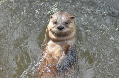 Super Cute River Otter Floating in A River Royalty Free Stock Photo