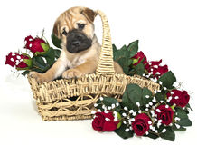 Super Cute Shar pei Puppy Royalty Free Stock Images