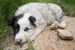 Super cute shepherd puppy dog royalty free stock image
