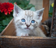 Super Cute Siamese Kitten Royalty Free Stock Image