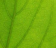 Super detailed green leaf Royalty Free Stock Images