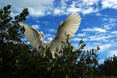 super egret obraz stock