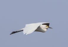 super egret Fotografia Stock