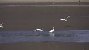 super egret white zdjęcie wideo