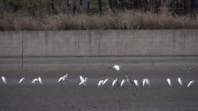 super egret white zbiory wideo
