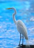 super egret white zdjęcia royalty free