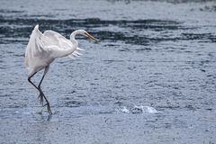 super egret white Zdjęcie Stock