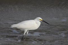 super egret white Fotografia Stock