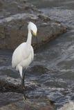 super egret white Obraz Royalty Free