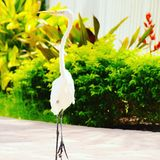 super egret white Obrazy Royalty Free
