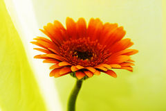 Super flower. Gerbera flower closup Stock Photography