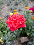 Red rose with triangle petals stock photography