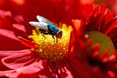 Super Fly. Macro of a interesting colored fly Royalty Free Stock Image