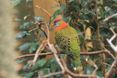 Super fruit dove Stock Images