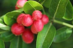 Super fruit. Scientific name Carissa carandas Linn Stock Photography