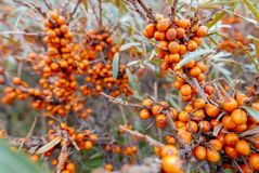 Super gesunder Beerensanddorn, der auf Niederlassungen im Willen wächst stockbilder