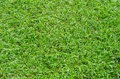 The super green grass wallpaper and background textures. The super green grass wallpaper Royalty Free Stock Image