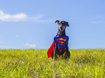 Super-herói alemão bonito do Pinscher Imagem de Stock Royalty Free