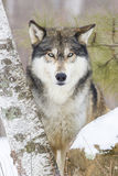 Super image in vertical format of wolves eyes. Intense look by timber wolf Royalty Free Stock Image