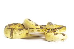 Super Inferno Ball Python Royalty Free Stock Image