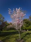 Super kersenbloesem in Peter F Schabarum Regionaal Park, Hacienda-Hoogten stock foto