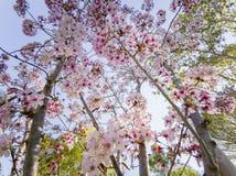 Super kersenbloesem in Peter F Schabarum Regionaal Park, Hacienda-Hoogten stock fotografie