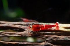 Super kristal rode garnalen op de houten decoratie in de tank van het zoet wateraquarium stock afbeelding