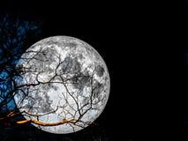 super księżyc sylwetki suchy drzewo Obrazy Stock