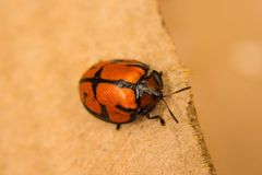 Super Ladybug. Huge insect ladybug from the garden Stock Photos