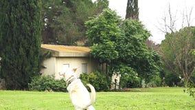Super langzame motie van een witte hond die een tennisbal vangen stock video